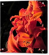 Day Lily Flame Acrylic Print