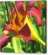 Day Lily Red And Yellow Acrylic Print