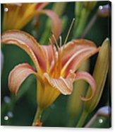 Daylily 2 Acrylic Print