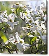 Dazzling Sunlit White Spring Dogwood Blossoms Acrylic Print