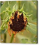 Dead Sunflower Acrylic Print