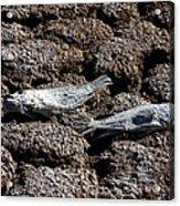 Salton Sea Dead Tilapia Acrylic Print