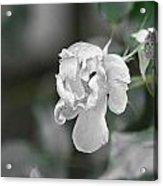Death Of A Flower Acrylic Print