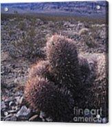 Death Valley Cactus Acrylic Print