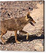 Death Valley Coyote Acrylic Print