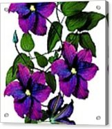 Deciduous Climber (clematis Warsaw Nike) Acrylic Print by Archie Young