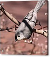 Decked Out - Tufted Titmouse Acrylic Print