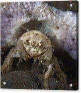 Decorator Crab With Mauve Sponge Acrylic Print
