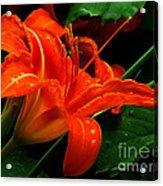 Deep Orange Day Lily Acrylic Print