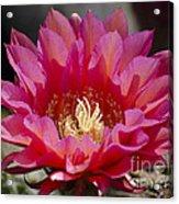 Deep Pink Cactus Flower Acrylic Print