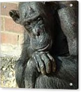 Gorilla Deep Thoughts Acrylic Print