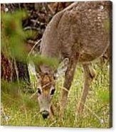 Deer 1661 Acrylic Print