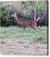 Deer At Viera Acrylic Print