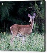 Deer - Doe - I Heard Something Acrylic Print