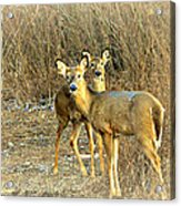 Deer Duo Acrylic Print