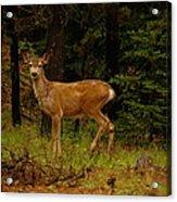 Deer Gazing  Acrylic Print