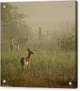 Deer In Foggy Field Acrylic Print