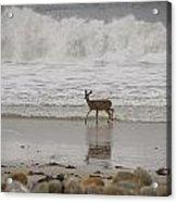 Deer In Ocean Surf Acrylic Print