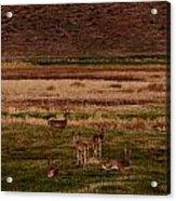 Deer In The Golden Meadow Acrylic Print