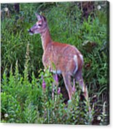 Deer In The Marsh Acrylic Print