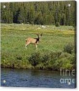 Deer In Tuolumne Meadow Acrylic Print
