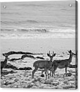 Deer On Beach Black And White Acrylic Print