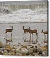 Deer On Beach Acrylic Print