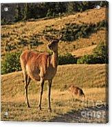 Deer On Mountain 2 Acrylic Print