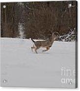 Deer Run Acrylic Print