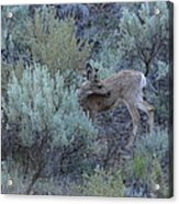 Deer Scratching Itch Acrylic Print