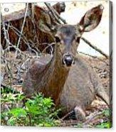 Deer Watching Acrylic Print
