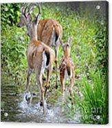 Deer Running In Stream Acrylic Print