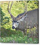 Deer Without Headlights Acrylic Print