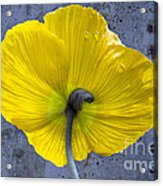 Delicate And Strong Acrylic Print