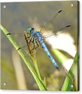 Delicate Dragonfly Acrylic Print
