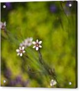 Delicate Flowers Acrylic Print