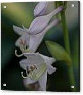 Delicate Lillies Acrylic Print