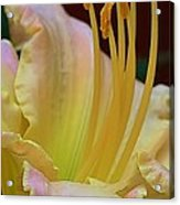 Delicate Lily Acrylic Print