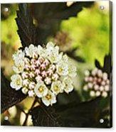 Delicate Spring Bloom Acrylic Print