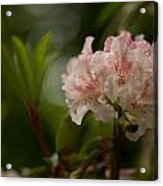 Delicately Peach Acrylic Print