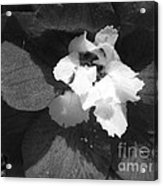 Delphinium From The Magic Fountains Hybrid Named Blue With White Bee Acrylic Print