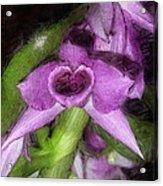Dendrobium Anosium Acrylic Print