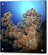 Dendronephthya Soft Coral, Acasta Reef Acrylic Print
