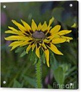 Denver Daisy 2 Acrylic Print