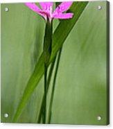 Deptford Pink - Dianthus Acrylic Print