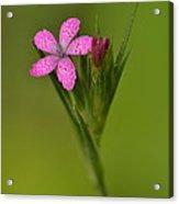 Deptford Pink Acrylic Print