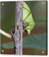 Descent Of A Green Stink Bug Acrylic Print