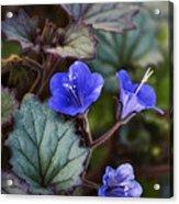 Desert Bluebells  Acrylic Print