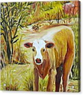 Desert Calf Acrylic Print