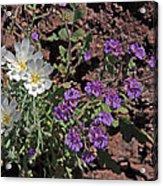 Desert Chicory And Heliotrope Acrylic Print